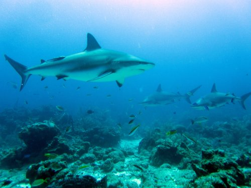 Roatan Shark Dive - Roatan Cruise Ship Excursion